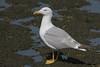 The Yobbo o' tha Marsh (ignicapillus) Tags: bird birding aves birdwatching laridae yellowleggedgull larusmichahellis gabbianoreale gabbianorealemediterraneo gabbianorealezampegialle