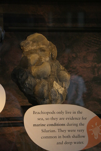 Brachiopod fossils, Sedgwick Museum, Cambridge