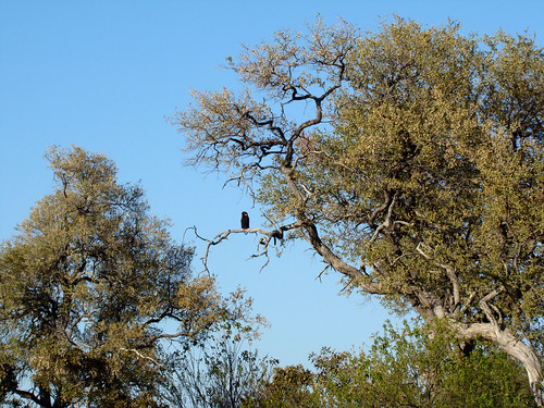 DSC07580 Bateleur in tree