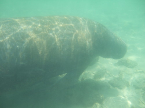 Friendly Manatee!