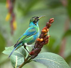 [フリー画像] [動物写真] [鳥類] [野鳥] [ズグロミツドリ] [緑色/グリーン]      [フリー素材]