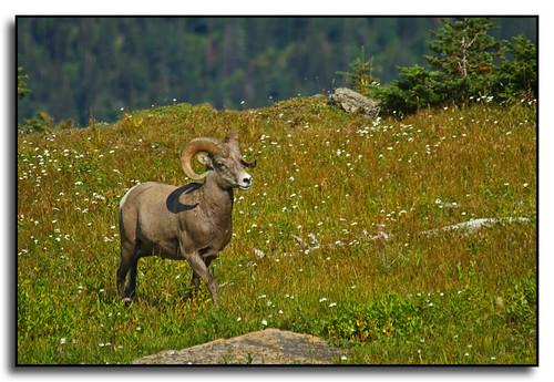Bighorn Sheep at Glacier National Park