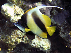 I get you finally! (bossart) Tags: blue fish redsea diving marrojo
