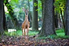 Young Buck (Joseph Hoetzl) Tags: newjersey canon20d deer fawn buck animalia mammalia whitetaileddeer unioncounty cranford odocoileusvirginianus pecora cervidae chordata artiodactyla ruminantia canonef70200mmf28lisusm nomaheganpark