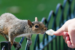 Hungry Squirrel (Milestoned) Tags: city england food cute london animal squirrel feeding adorable feed