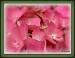 ~~ Happy Flowery Friday ~~ (Brenda Boisvert .) Tags: pink flower macro hydrangea hortensia hortensien happyfloweryfriday perfectpetals kunstplatzlinternational mamasbloomers øutstandingimages ❤♫♪♪paulsplace♫♪♪❤ naturescarousel forpandacolors