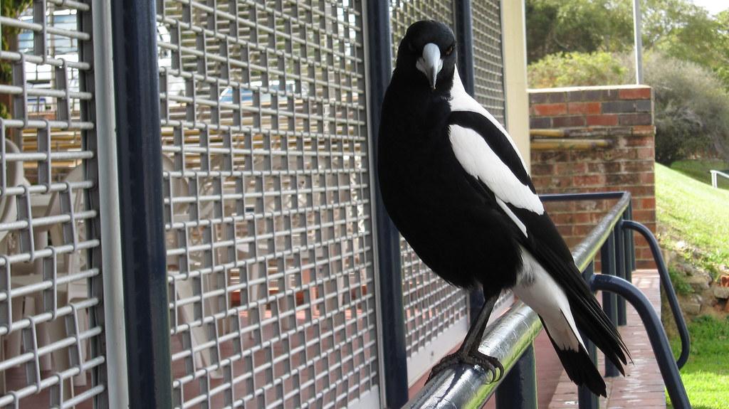 Nedlands Magpie