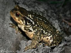 Gripau (Toni Duarte) Tags: naturaleza macro nature animal animals canon eos frog textures toad animales sapo rana texturas amphibious granota naturalesa 400d canoneos400d amphibios renoc toniduarte amfibios gettyimagesiberiaq2