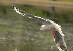 Landing approach (Steve-h) Tags: ireland dublin flying seagull gull flight bushypark naturesfinest a mywinner platinumheartaward betterthangood