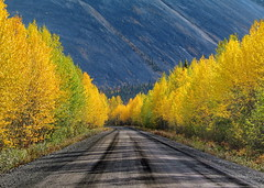 golden road (klaus53) Tags: road autumn trees colors leaves gold yukon dempsterhighway superaplus aplusphoto platinumheartaward vanagram