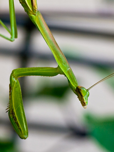 Mantis of my garden