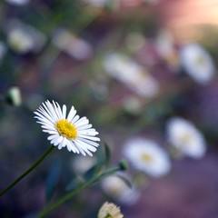 Last one, promise! (RachaelMc) Tags: flowers white macro beautiful daisies garden miniature backyard naturesfinest bej brillianteyejewel rachaelmc rjmcdiarmid