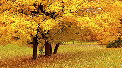 In Case You Were Absent! (Baab1) Tags: autumn fall leaves gold landscapes maryland autumnleaves beautifulcolors yellows southernmaryland iphotoedited huntingtownmaryland calverycountymaryland marylandscenics
