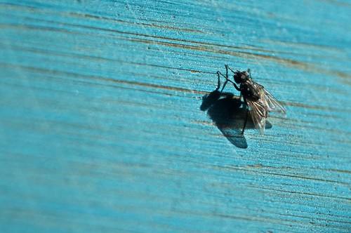 mosca madrugadora
