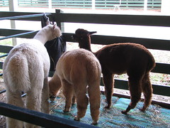 Woolly Butts