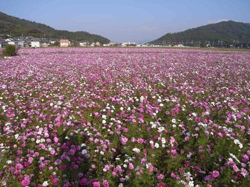琵琶湖畔のコスモス畑は高密度!@滋賀県近江八幡市
