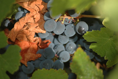 Mencia grapes