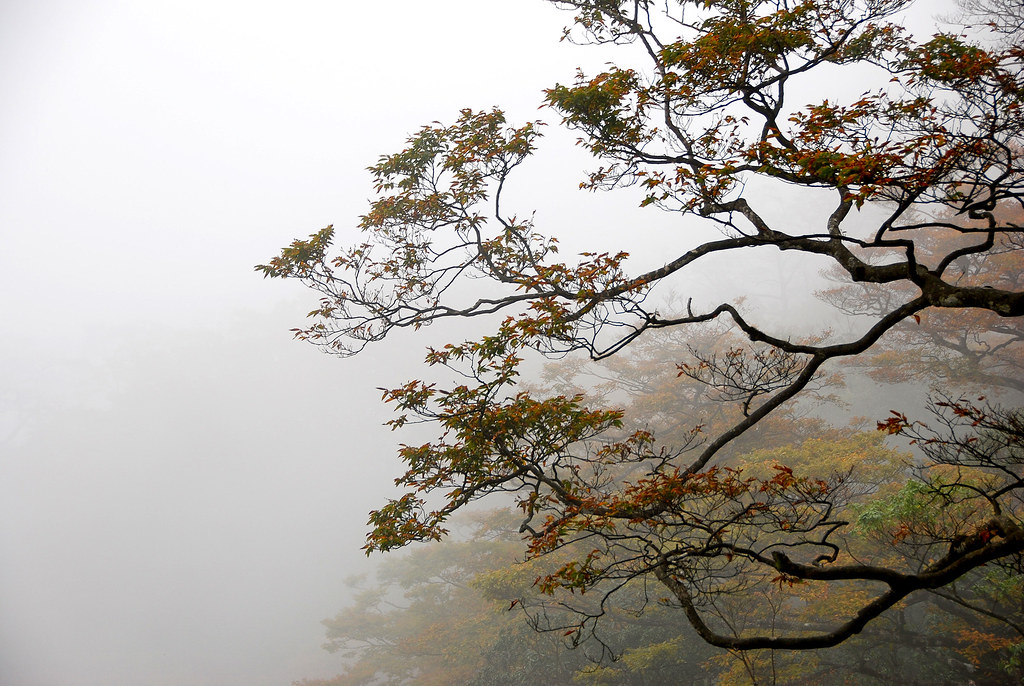 霧中的山毛櫸