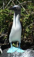 Blue Footed Booby (David Morse) Tags: bird animal canon 350d xt ecuador honeymoon ngc galapagos rebelxt booby morse canondigitalrebelxt bluefootedbooby davidmorse naturethroughthelens naturesgreenpeace