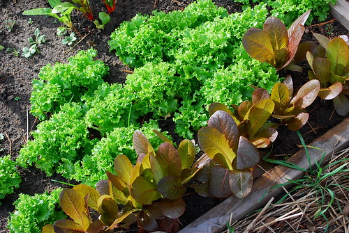 tango and red romaine lettuce