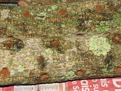 toras inoculadas e seladas (Luboriba) Tags: mushroom fungi cogumelo fungo cultivocogumelo