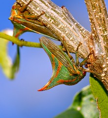 """Did that thorn just MOVE?"" (MrClean1982) Tags: everglades supershot treehoppers loxahatcheewetlands vosplusbellesphotos"