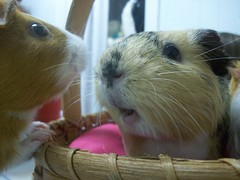 Lemons and Lily-having a conversation (ChocoladeHam) Tags: girls orange white black cute yellow guinea lily chocolate adorable lemons pigs conversation females enemies piggies lems theyhateeachother