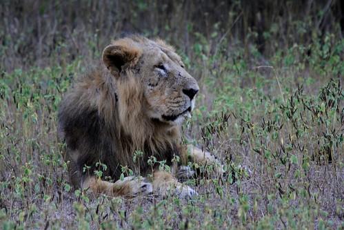 Low 2009-11-29 Sasan Gir - 01 Safari 27
