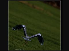 Reiger-1 (rotor.com) Tags: holland heron netherlands dutch amsterdam amsterdamzuidoost gein reiger nanlohy northholland rotorcom