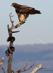 Hawk taking a poop (Davor Desancic) Tags: coyote park trees sunset usa house lake birds canon pond ducks fremont hills 7d bayarea hayward califronia coyotehills reagional ebparksok