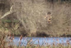 Coruja-do-nabal / Short-eared owl (Asio flammeus) (Armando Caldas) Tags: aves strigiformes esposende fão strigidae shortearedowl asioflammeus corujadonabal parquenaturaldolitoralnorte