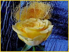 Spiegelbild (Heide (vorher roeschen56)) Tags: flowers rose gelb spiegelbild anawesomeshot