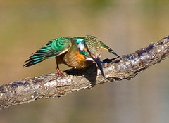 Start Of Dive (aeschylus18917) Tags: park bird nature birds japan tokyo nikon wildlife feathers kingfisher   nerima   80400mm nerimaku commonkingfisher alcedoathis 80400mmf4556dvr shakujikoen     d700 80400mmf4556vr  shakujipark  danielruyle aeschylus18917 danruyle druyle   shakujiiken