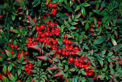 Red Berries (Been There Photography) Tags: winter red plant southwest west green nature berry nikon texas berries desert midland llano d60 naturesfinest llanoestacado nikond60 estacado southwst sibleynaturecenter