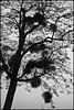 5 - 3 janvier 2010 Paris Bois de Vincennes Boules de gui dans un arbre (melina1965) Tags: trees blackandwhite bw paris macro tree nikon îledefrance noiretblanc january arbres mistletoe boisdevincennes gui janvier arbre 75012 amateurs bois 2010 vincennes 12èmearrondissement d80 photoscape imagesofharmony flickrelax leagueofwomenphotographers umbralaward nopoolsweeperneeded theclassact
