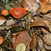 Madagascar Ankanin'Nofy Palmarium champignono