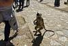 _DSC2459_DxO (Alexandre Dolique) Tags: d810 inde udaipur rajasthan kumbhalgarh fort kumbalgar singe monkey attaque attack india