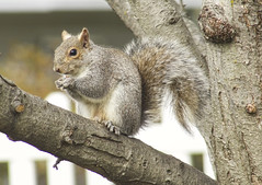 Eastern Gray Squirrel (mmorriso2002) Tags: squirrel easterngraysquirrel animal nature wildlife backyardhabitat newjersey