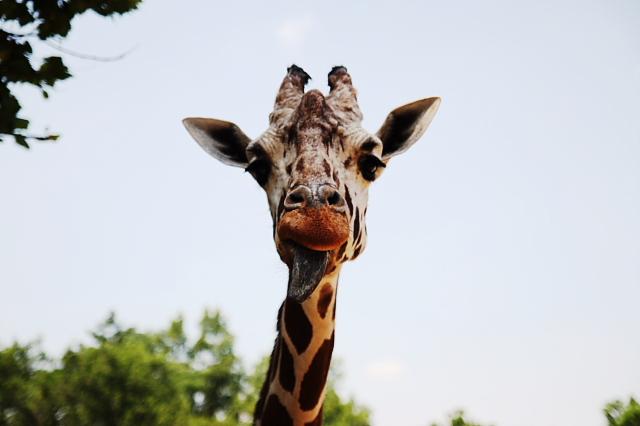 giraffezoo