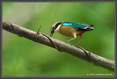 Indian Pitta ~ Tadoba Andheri Tiger Reserve, India (The Eternity Photography) Tags: india bird nature canon ilovenature bokeh wildlife birding 600 maharashtra birdwatching 2009 birder kavi pitta digitalphotography smallbird supertelephoto tigerreserve supertele 600mm indiatourism wildlifephotography wildindia indianwildlife tadoba incredibleindia canonllens weekendshoot iloveindia indianpitta pittabrachyura 40d tatr canon600mm canoneos40d canon40d pittidae visitindia tadobaandheritigerreserve canonef600mmf4lisusm santanubanik theeternity exploreindia birdinginthewild shumcha savethewildlife tadobatigerreserve     iloveindianwildlife    wwwfrozenforeternitycom birding600mm naorang nauranga arumanikuruvi hariyo kathualechi thottakalla polankipitta ponnangipitta avichchiya