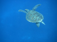Green Sea Turtle (slowliketurtle) Tags: australia seaturtle greatbarrierreef cheloniamydas greenseaturtle