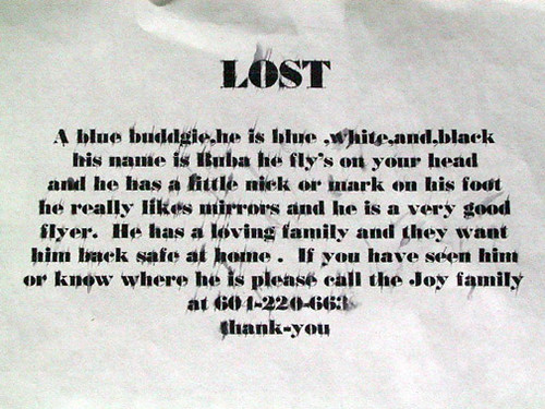 Lost Budgie - he is a very good flyer