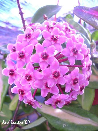Hoyas - Flores de Cera 3748624539_ce1866c105