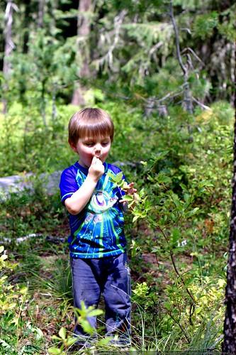 sequoia eating huckleberries - _MG_0154