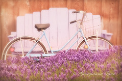 Breeze (georgianna lane) Tags: summer flower bicycle vintage bench farm lavender fragrant flowering schwinn herb perennial perennials lavandula florabellatextures loddenblue