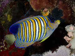 Regal angelfish (Paul Flandinette) Tags: ocean fish macro indonesia nikon underwater northsulawesi angelfish marinelife underwaterphotography bunaken pygoplitesdiacanthus regalangelfish beautifulfish paulflandinette