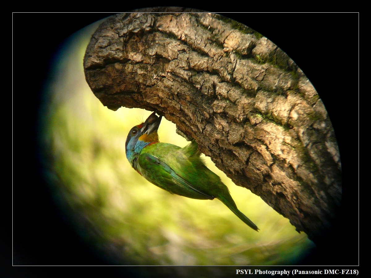 Digiscoped Taiwan Barbet (Megalaima nuchalis) - 台灣擬啄木/五色鳥