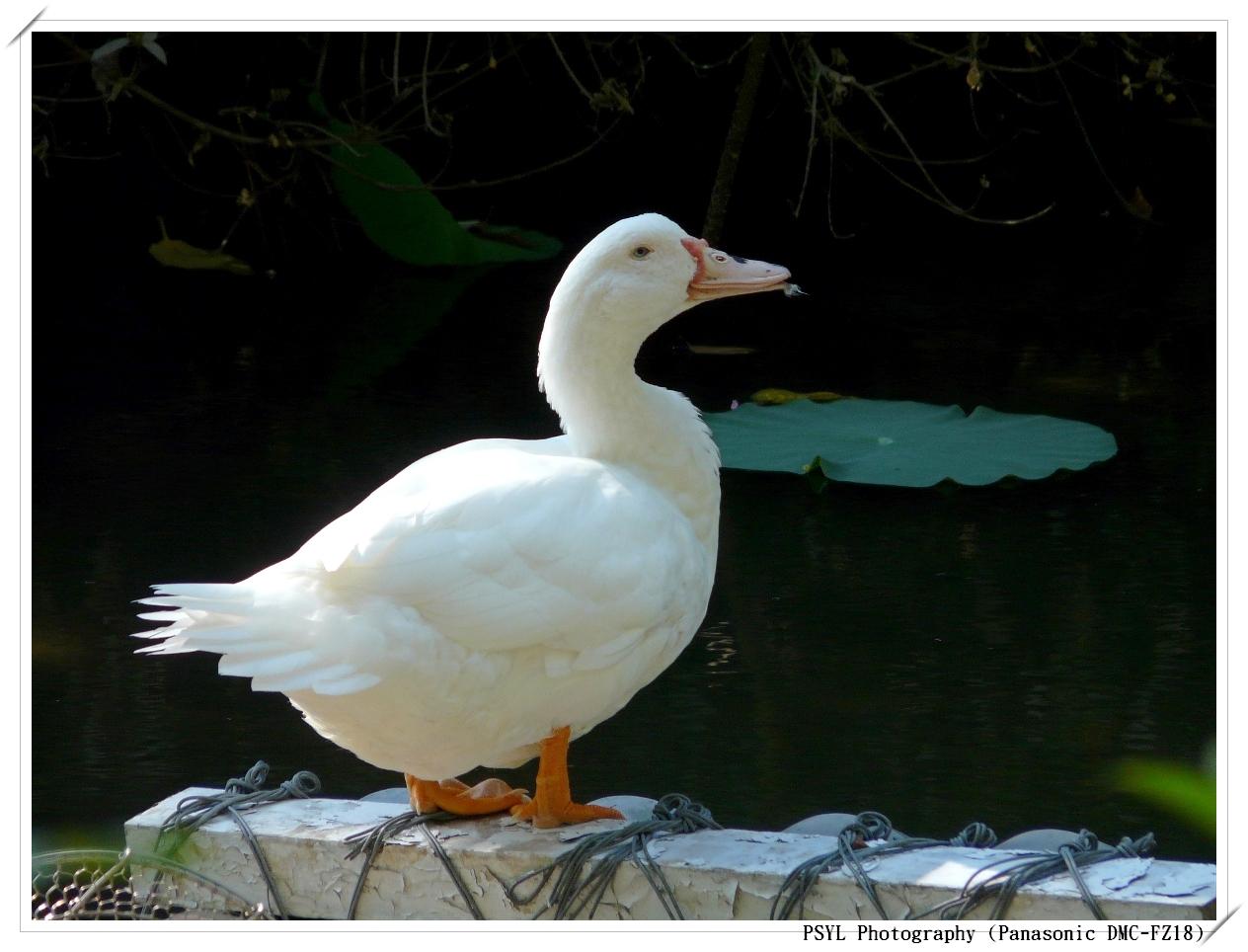 Ducky in TBG