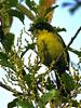 Rufous-naped Brush-Finch (Atlapetes rufinucha) (David Cook Wildlife Photography) Tags: peru fbwnewbird fbwadded kookr atlapetesrufinucha amazonasdept abrapatricia owletlodge rufousnapedbrushfinch yellowbreastedbrushfinch atlapeteslatinuchus
