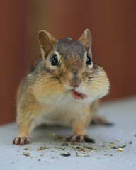 It's Only Cute When HE Packs His Lip! (SavingMemories) Tags: cute closeup mouth mouse rodent squirrel critter wildlife chipmunk tobacco chippy naturesfinest chewingtobacco furryanimal savingmemories alittlebeauty